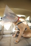 Conehead Garvey going for a ride